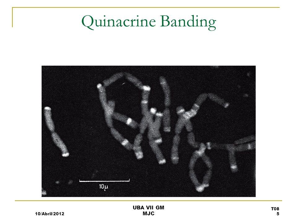 Quinacrine Banding 10/Abril/2012 UBA VII GM MJC