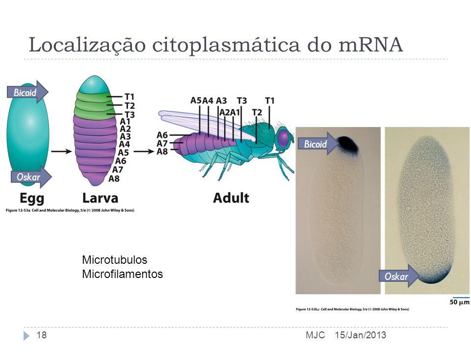 Localização citoplasmática do mRNA