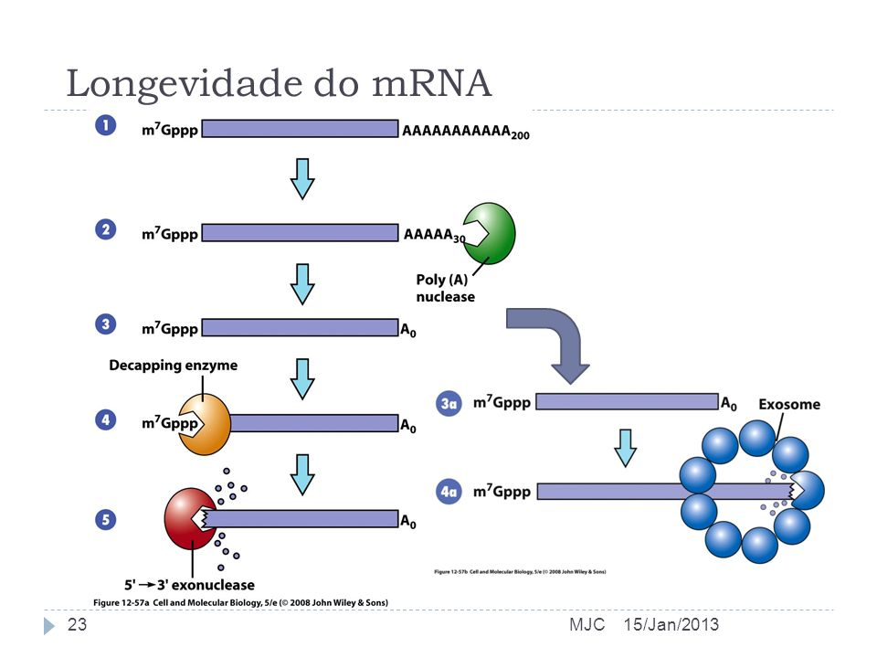 Longevidade do mRNA MJC 15/Jan/2013