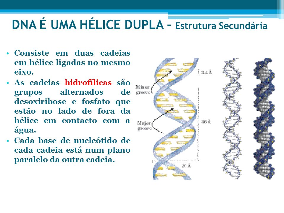 DNA É UMA HÉLICE DUPLA - Estrutura Secundária