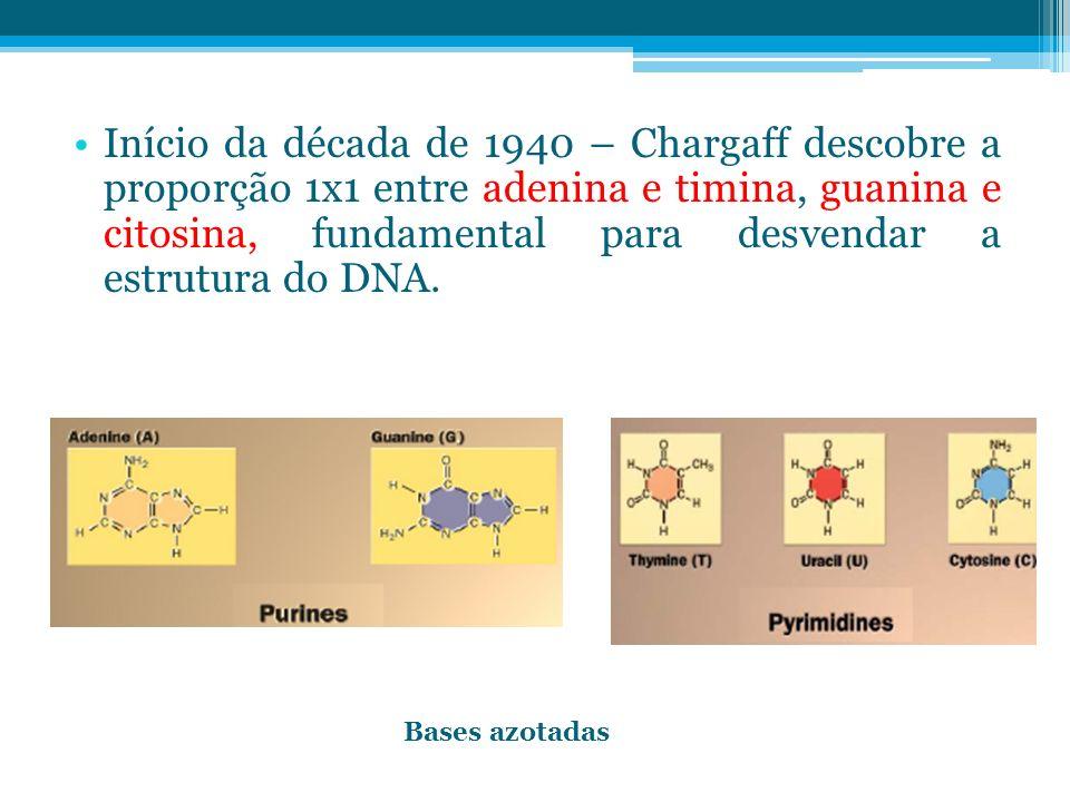 Início da década de 1940 – Chargaff descobre a proporção 1x1 entre adenina e timina, guanina e citosina, fundamental para desvendar a estrutura do DNA.