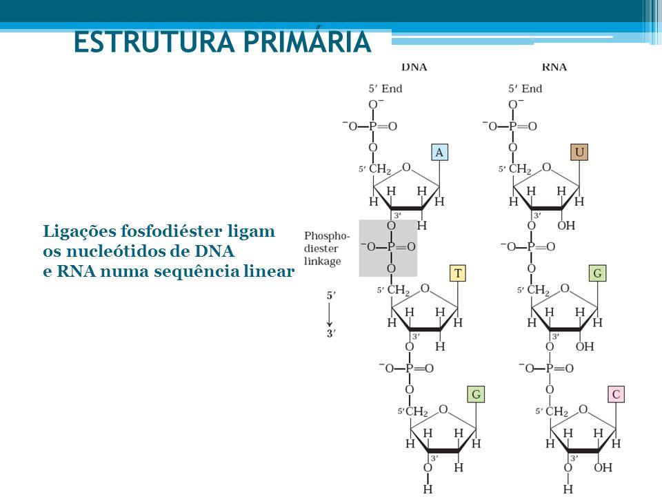 ESTRUTURA PRIMÁRIA Ligações fosfodiéster ligam os nucleótidos de DNA