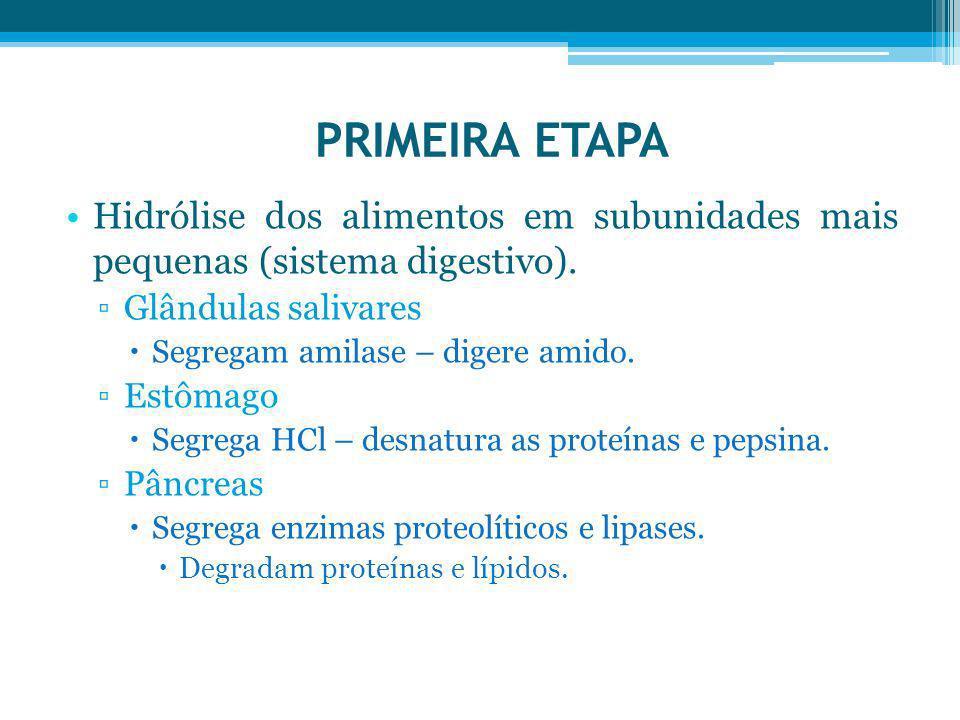 PRIMEIRA ETAPA Hidrólise dos alimentos em subunidades mais pequenas (sistema digestivo). Glândulas salivares.