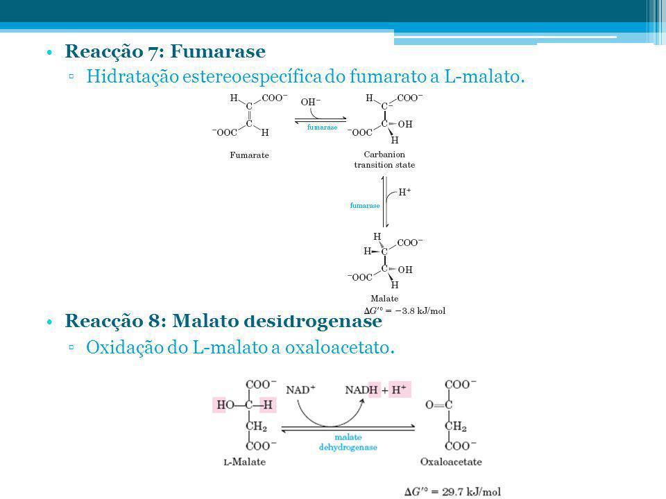 Reacção 7: Fumarase Hidratação estereoespecífica do fumarato a L-malato. Reacção 8: Malato desidrogenase.