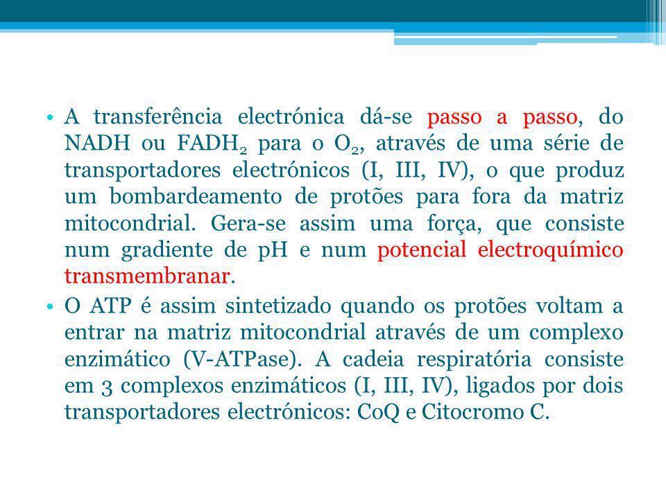 A transferência electrónica dá-se passo a passo, do NADH ou FADH2 para o O2, através de uma série de transportadores electrónicos (I, III, IV), o que produz um bombardeamento de protões para fora da matriz mitocondrial. Gera-se assim uma força, que consiste num gradiente de pH e num potencial electroquímico transmembranar.