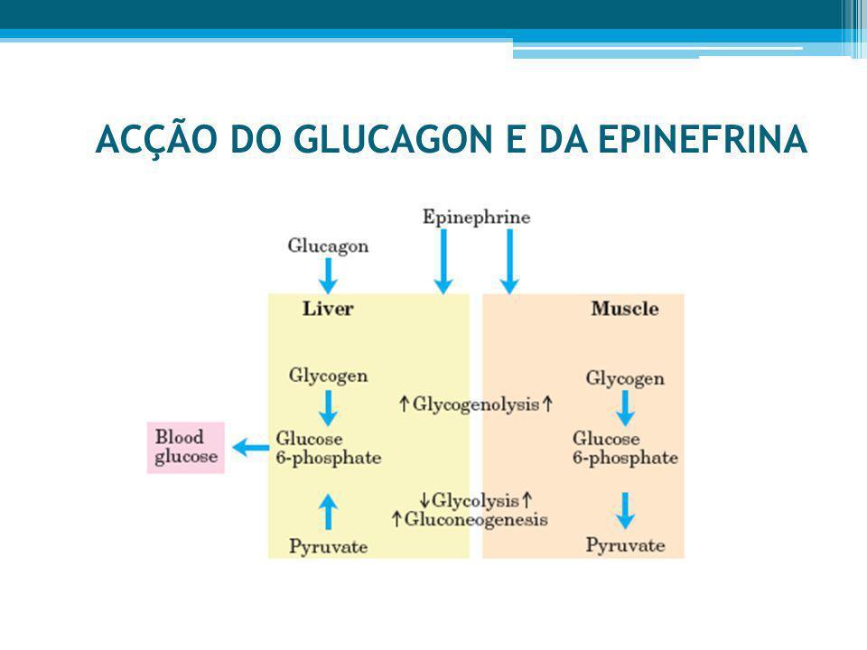 ACÇÃO DO GLUCAGON E DA EPINEFRINA