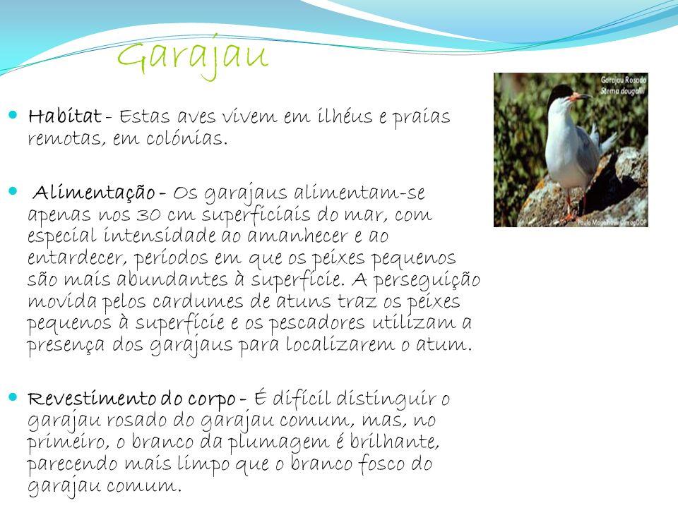 Garajau Habitat - Estas aves vivem em ilhéus e praias remotas, em colónias.