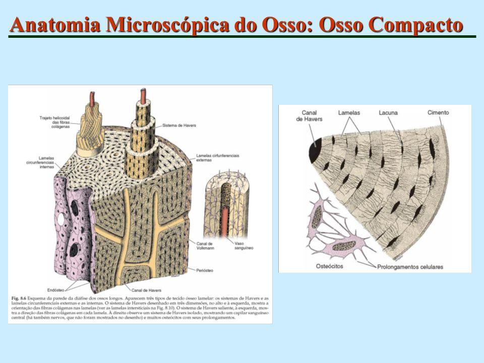 Anatomia Microscópica do Osso: Osso Compacto