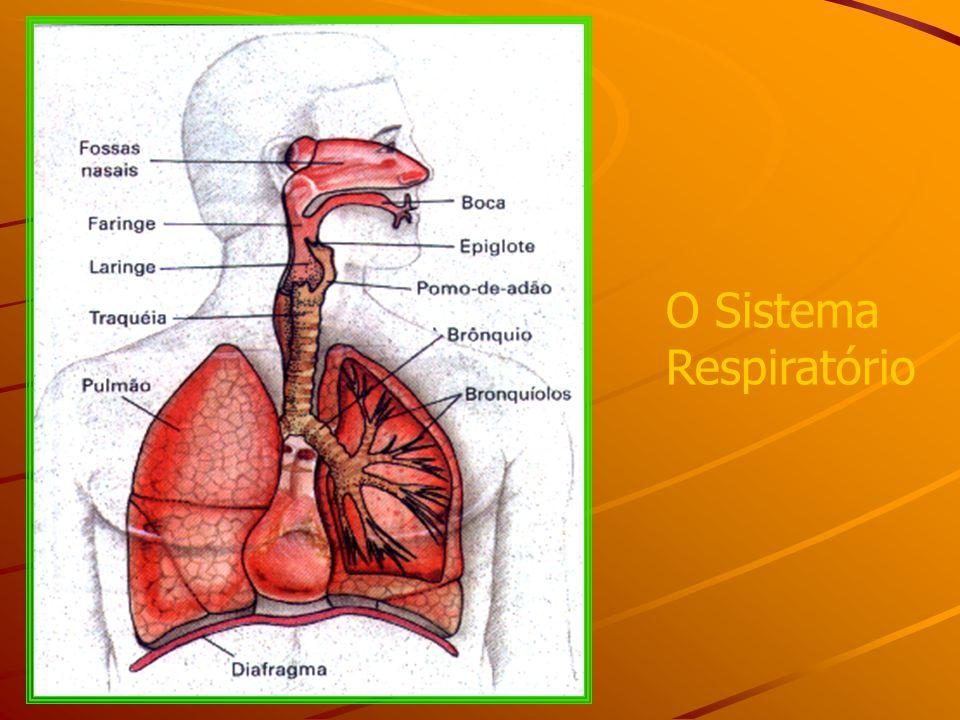 Lujo El Sistema Respiratorio Anatomía Y Fisiología Del Concurso ...