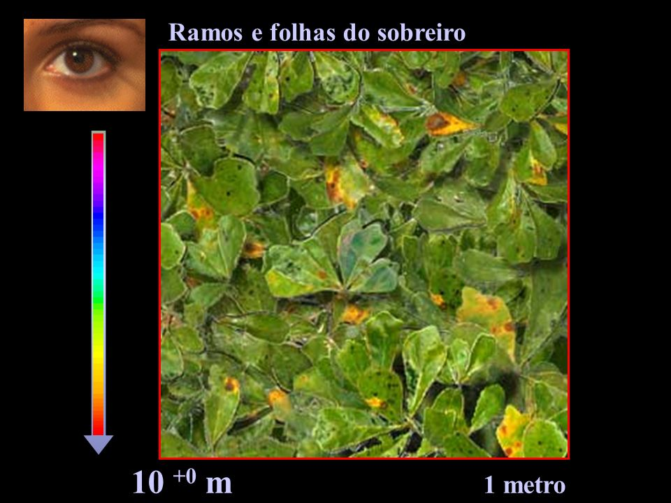 Ramos e folhas do sobreiro