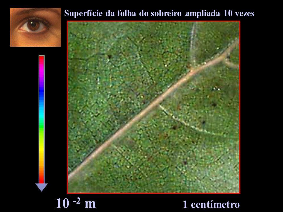Superfície da folha do sobreiro ampliada 10 vezes