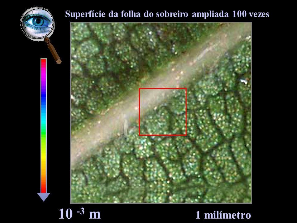 Superfície da folha do sobreiro ampliada 100 vezes