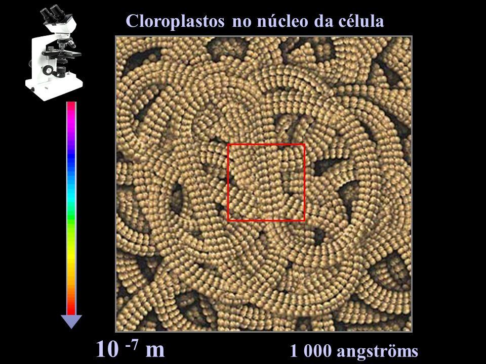 Cloroplastos no núcleo da célula