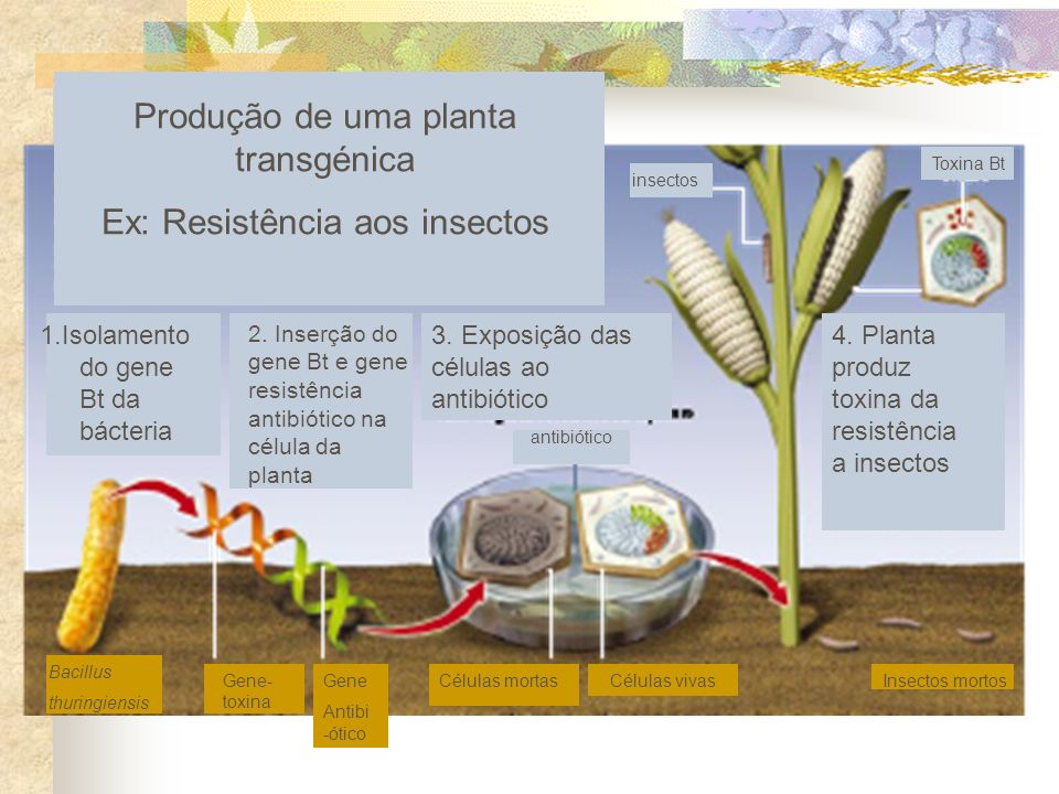 Produção de uma planta transgénica Ex: Resistência aos insectos