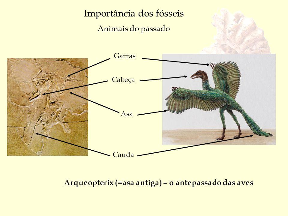 Arqueopterix (=asa antiga) – o antepassado das aves