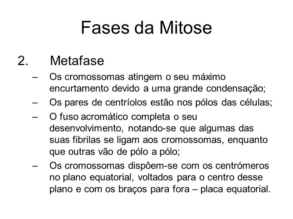 Fases da Mitose 2. Metafase