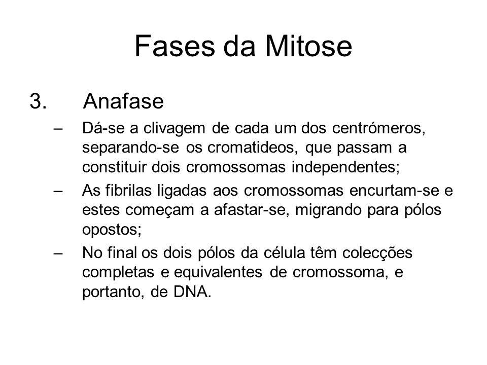 Fases da Mitose 3. Anafase