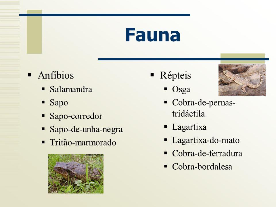 Fauna Anfíbios Répteis Salamandra Sapo Sapo-corredor