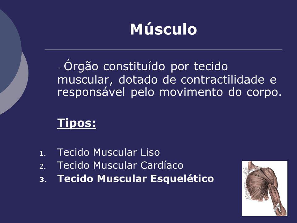 Músculo - Órgão constituído por tecido muscular, dotado de contractilidade e responsável pelo movimento do corpo.