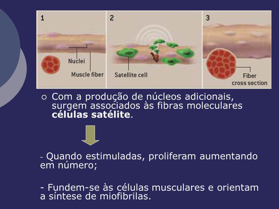 Com a produção de núcleos adicionais, surgem associados às fibras moleculares células satélite.