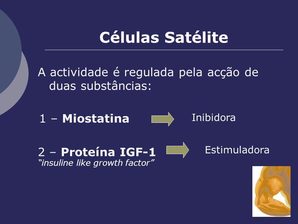 Células Satélite A actividade é regulada pela acção de duas substâncias: 1 – Miostatina. Inibidora.