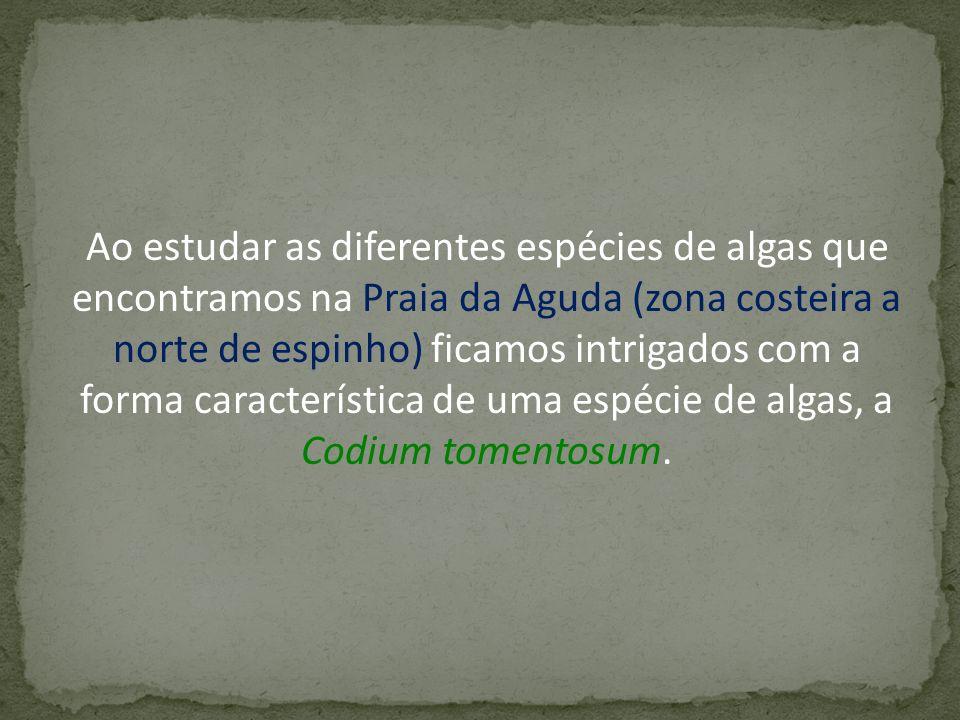 Ao estudar as diferentes espécies de algas que encontramos na Praia da Aguda (zona costeira a norte de espinho) ficamos intrigados com a forma característica de uma espécie de algas, a Codium tomentosum.