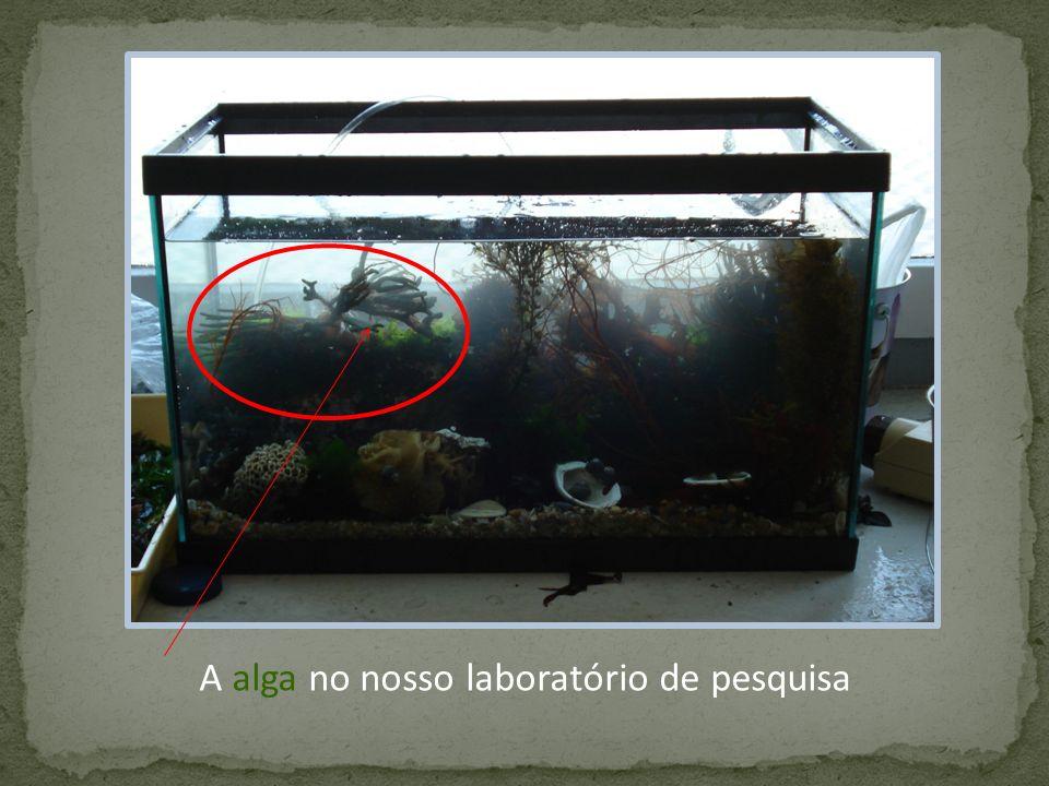 A alga no nosso laboratório de pesquisa