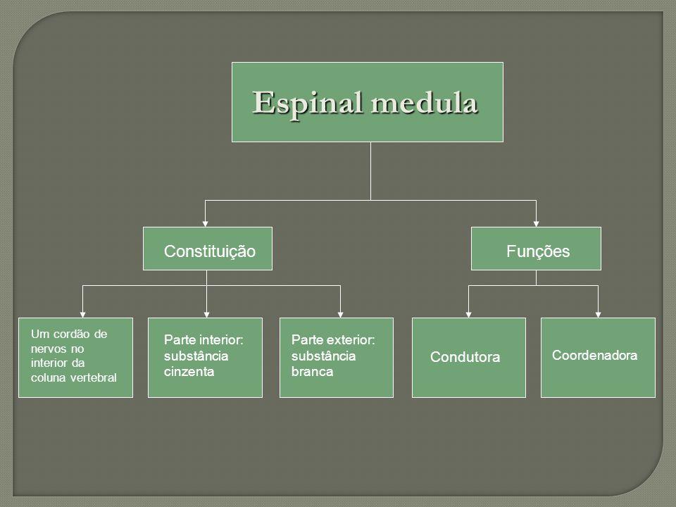 Espinal medula Constituição Funções Condutora