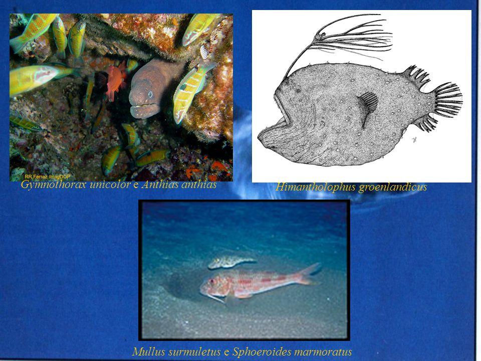 Gymnothorax unicolor e Anthias anthias