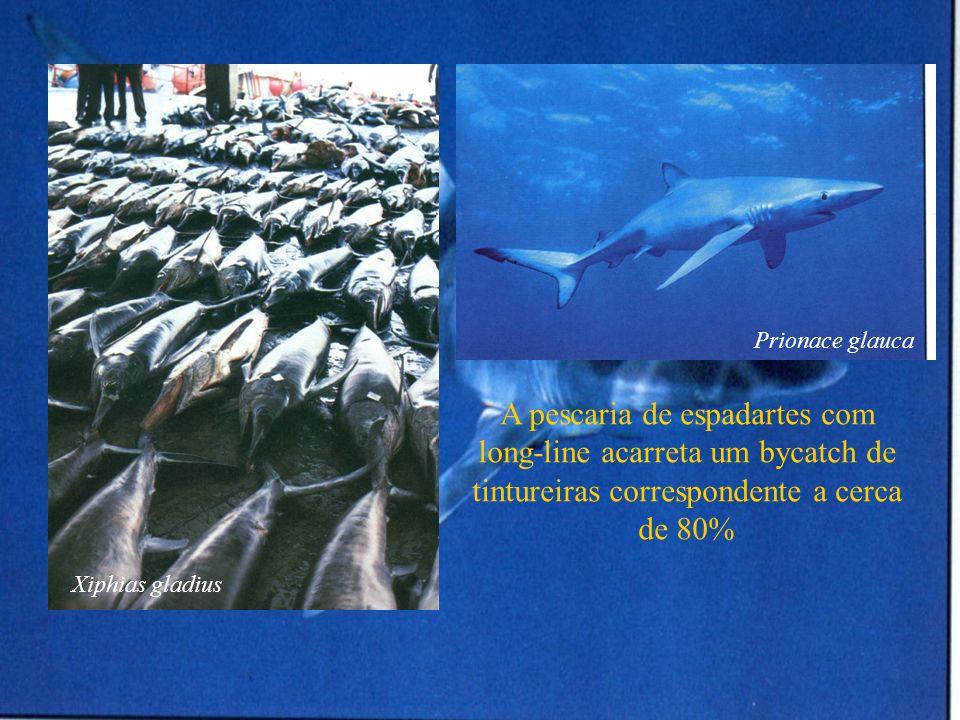 Prionace glaucaA pescaria de espadartes com long-line acarreta um bycatch de tintureiras correspondente a cerca de 80%