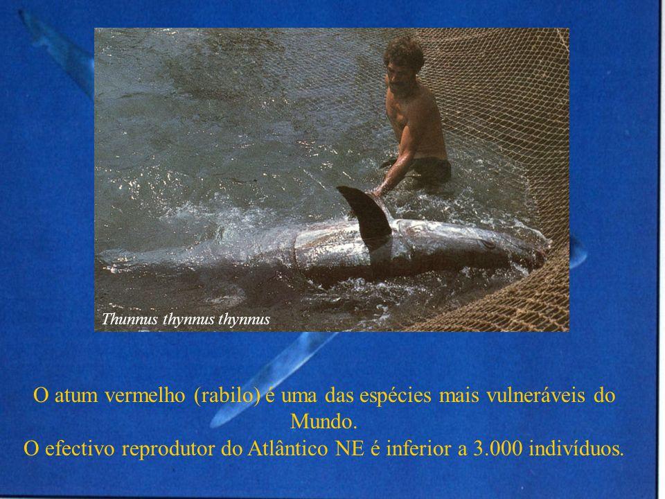 O atum vermelho (rabilo) é uma das espécies mais vulneráveis do Mundo.