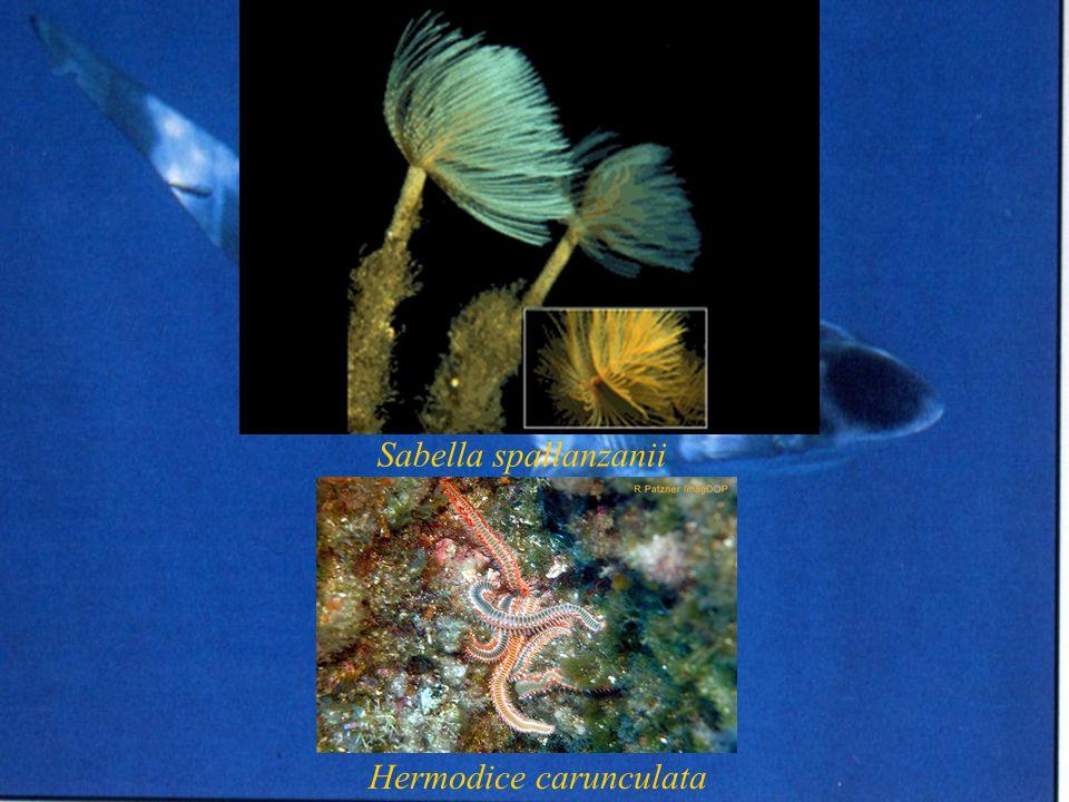 Sabella spallanzanii Hermodice carunculata