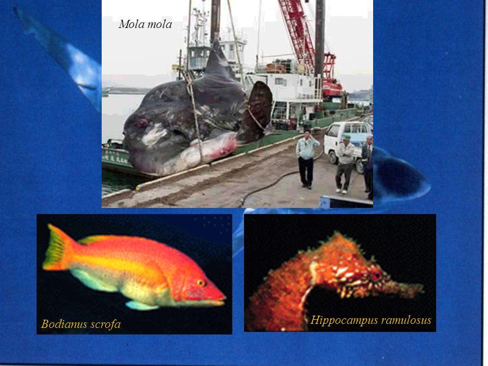 Mola mola Hippocampus ramulosus Bodianus scrofa