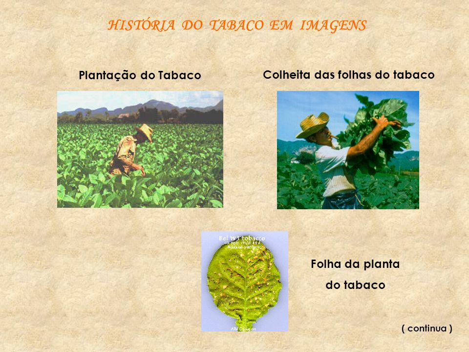 Colheita das folhas do tabaco