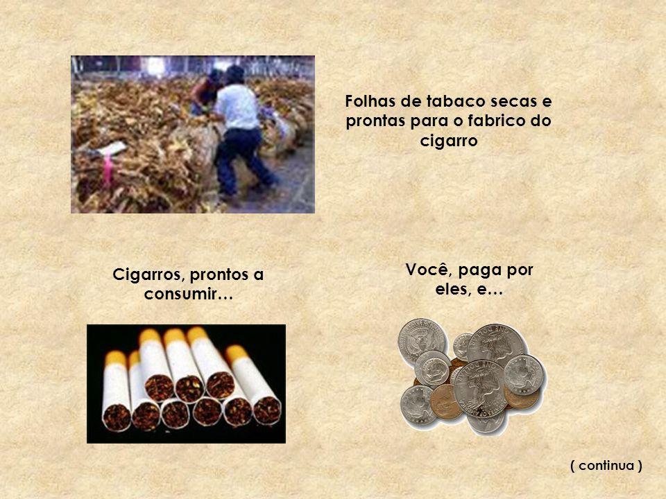 Folhas de tabaco secas e prontas para o fabrico do cigarro