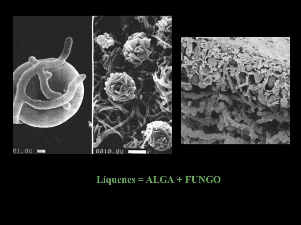 Líquenes = ALGA + FUNGO
