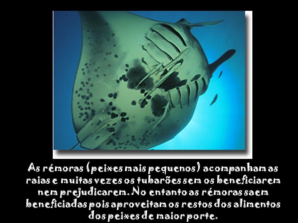 As rémoras (peixes mais pequenos) acompanham as raias e muitas vezes os tubarões sem os beneficiarem nem prejudicarem.