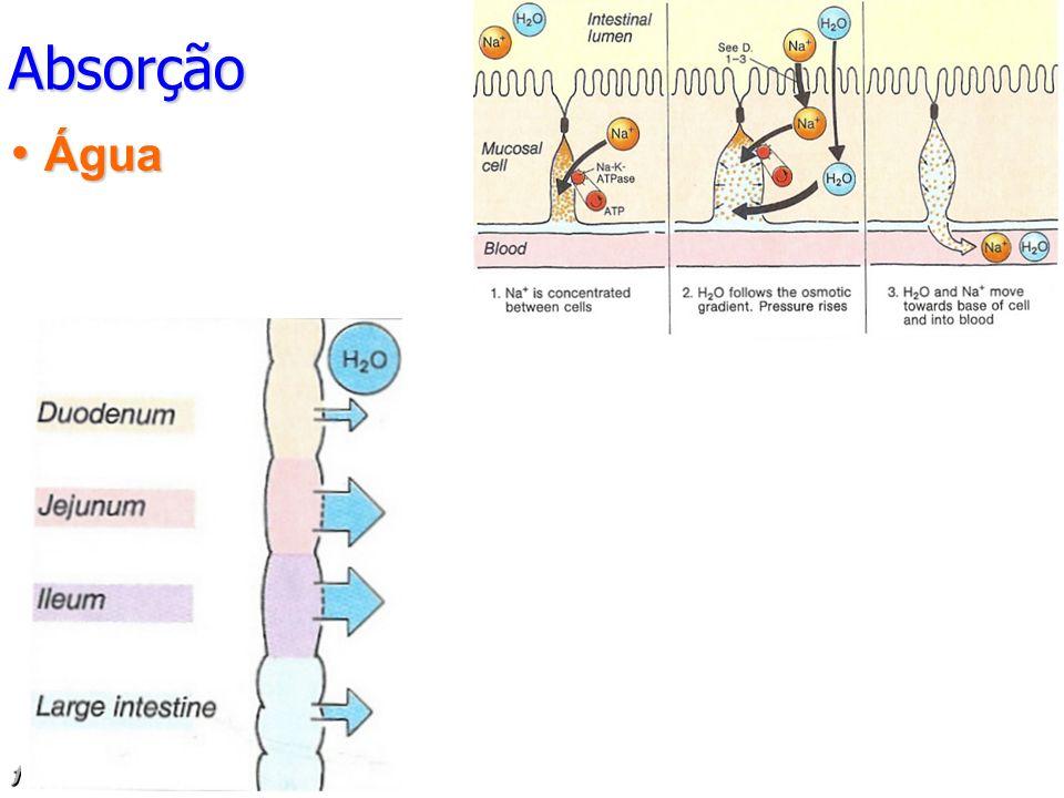 Absorção Água Absorvidos activamente Ca 2+, Mg2+, Fe2+