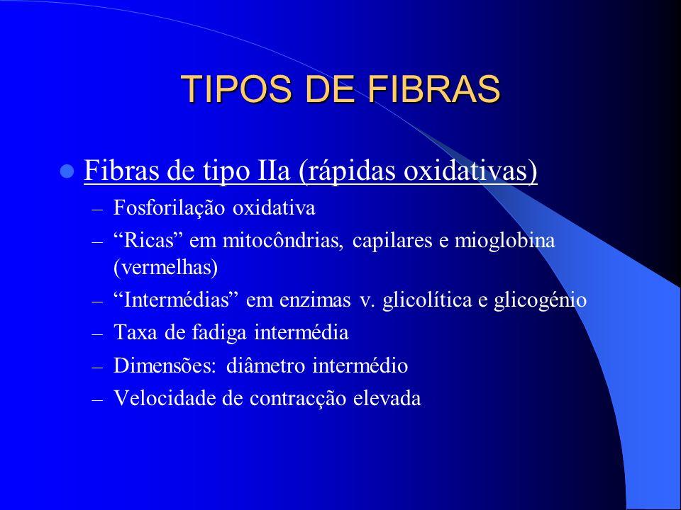 TIPOS DE FIBRAS Fibras de tipo IIa (rápidas oxidativas)