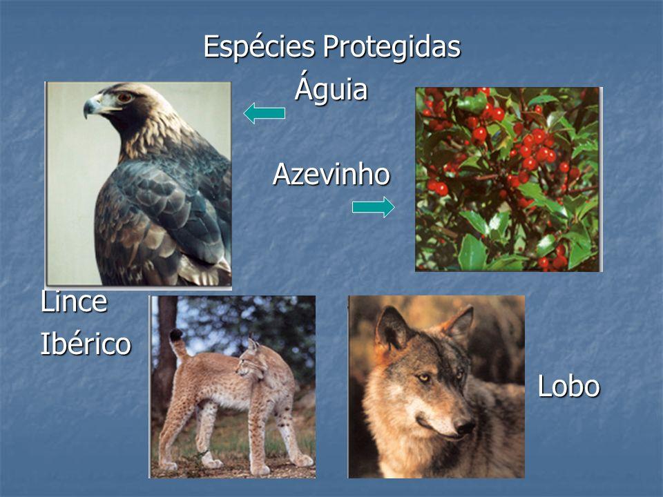 Espécies Protegidas Águia Azevinho Lince Ibérico Lobo