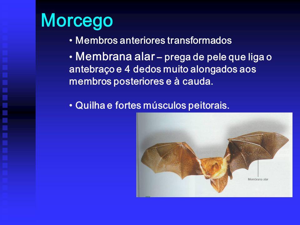 Morcego Membros anteriores transformados
