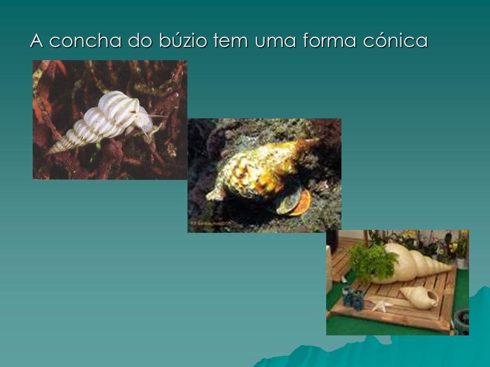 A concha do búzio tem uma forma cónica