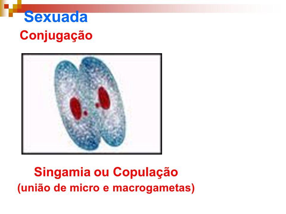 (união de micro e macrogametas)