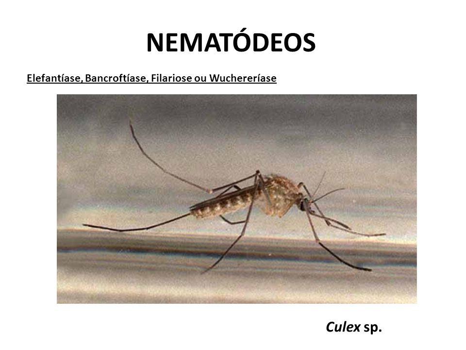 NEMATÓDEOS Elefantíase, Bancroftíase, Filariose ou Wuchereríase Culex sp.