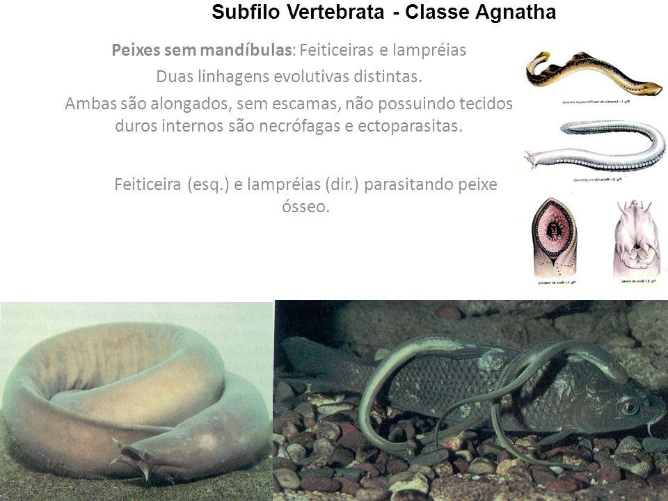 Subfilo Vertebrata - Classe Agnatha