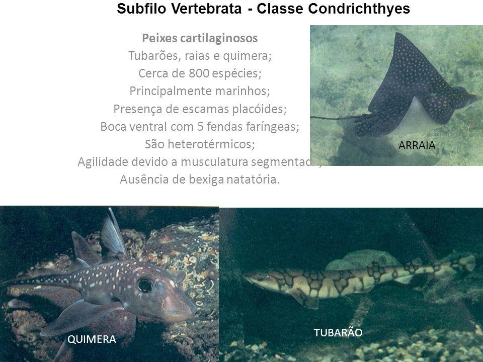 Subfilo Vertebrata - Classe Condrichthyes