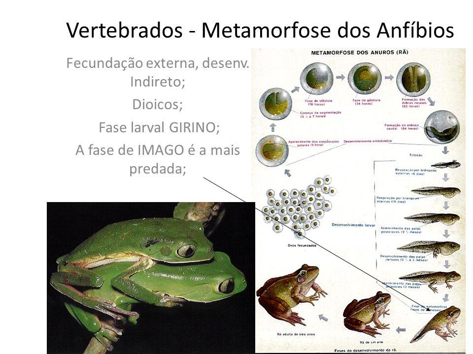 Vertebrados - Metamorfose dos Anfíbios