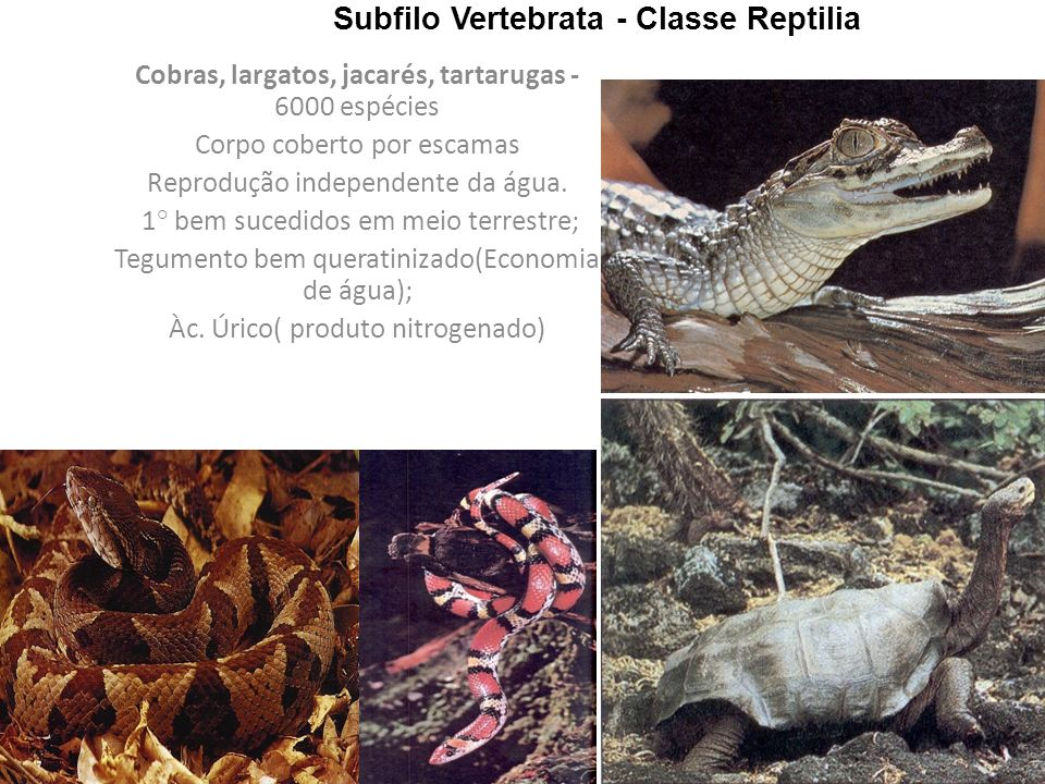 Subfilo Vertebrata - Classe Reptilia