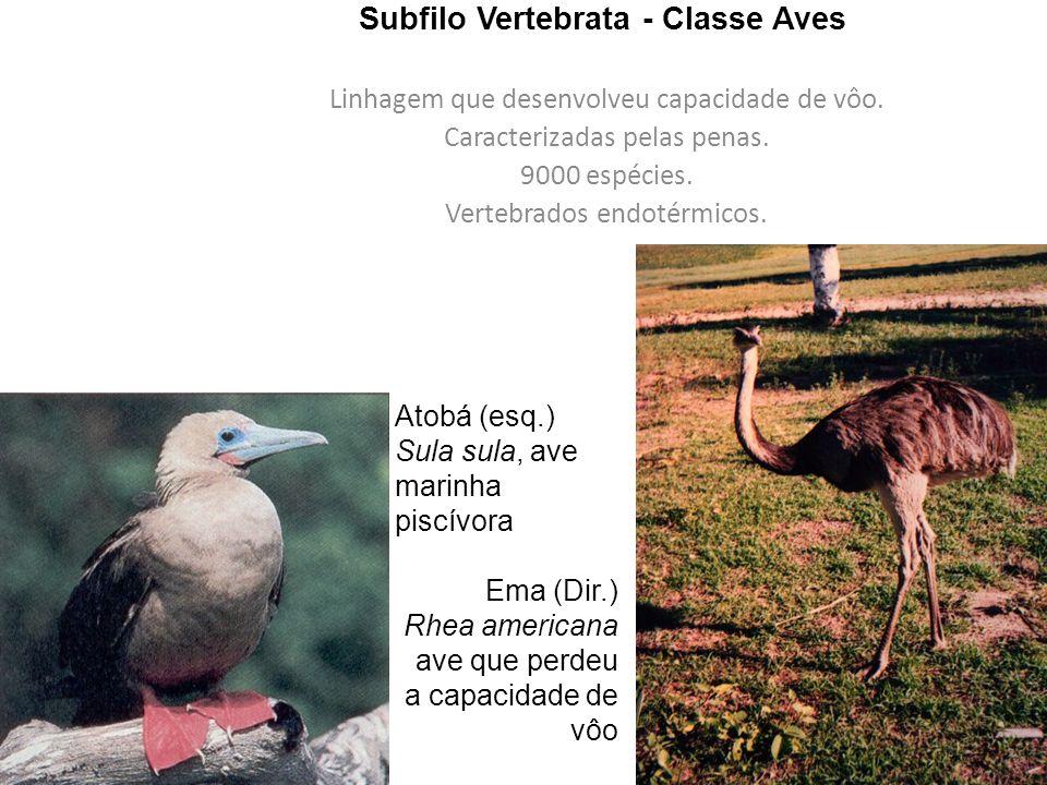 Subfilo Vertebrata - Classe Aves
