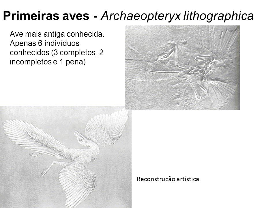 Primeiras aves - Archaeopteryx lithographica